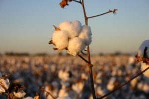 Cotton bolls farming