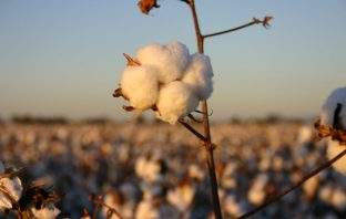 Cotton bolls farming
